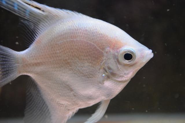 白い熱帯魚!冬の時期にぴったり!手軽に飼える種類をプロが紹介します