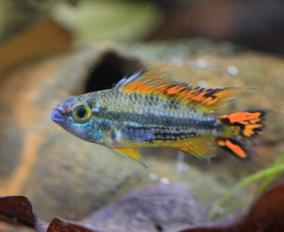 泳ぐ宝石・アピストグラマ!美しい種類と飼育方法を徹底解説します!