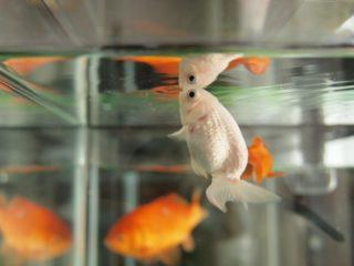金魚が口を動かすのはなぜ?ぱくぱくする理由と金魚の様子・心理に迫る!
