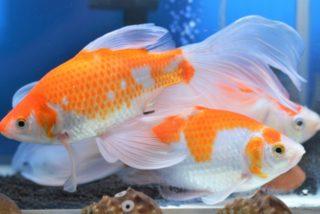 金魚の体色を美しくするには!体色が変化する仕組みと色揚げ方法を解説