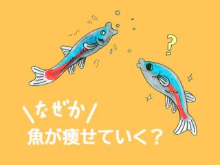 餌を食べている熱帯魚が痩せていく原因!対処法と回復方法を解説します