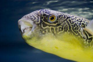 淡水フグ特集!飼いやすいおすすめの種類から最適な水槽や飼育方法を解説