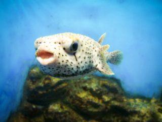 海水フグ特集!飼育方法からプロがおすすめする飼いやすい種類を解説!