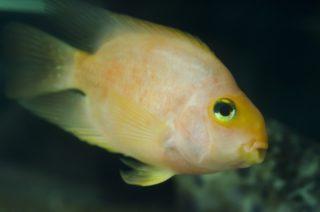 熱帯魚や海水魚のハイブリッドとは! ハイブリッドの意味と種類を解説