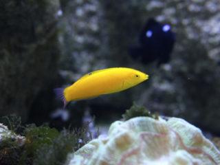 海水魚の名脇役ベラ特集!おすすめの種類から飼育方法まで解説します