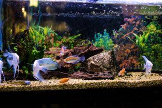 中型熱帯魚特集!90cm水槽向きの淡水魚TOP3の特徴をご紹介します