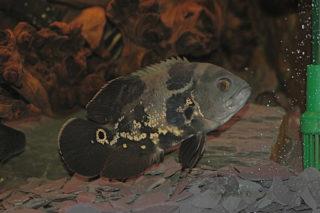 中型魚『オスカー』はどんな魚?飼育方法・種類・混泳について解説します