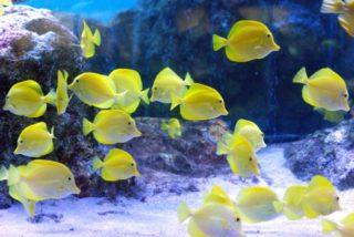 黄色い熱帯魚特集!水槽を明るくする、淡水魚・海水魚のおすすめ10選