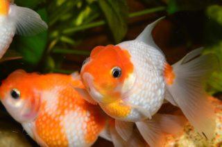 金魚の水質を考える!最適なpHとは!おすすめの調整方法と検査薬を解説