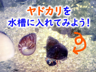 海水魚水槽にヤドカリを入れよう!ヤドカリの特徴からメリット・デメリットを解説