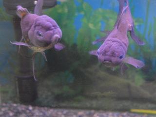 青い金魚!青文魚など美しい金魚の世界をご紹介します!おすすめ展示会も!