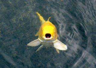 金色の熱帯魚!豪華で美しいゴールドカラーの熱帯魚8選を解説します!