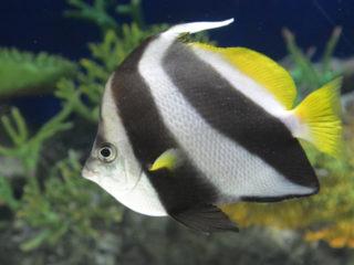 しましまの熱帯魚たち!鮮やかでかわいい、縞模様の魚10選をご紹介!