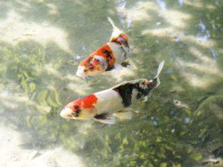 観賞魚とは!メダカや金魚など、熱帯魚との違いや特徴について解説します