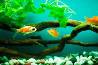 金魚を大きくしない方法とは!餌のやり方など、理由と対策を解説します!