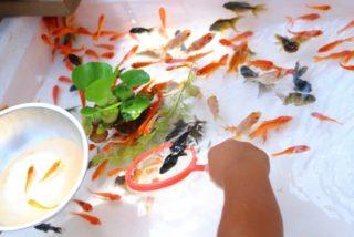 手軽に金魚すくいを開催しよう!金魚すくい専用水槽やプール、必要な資材