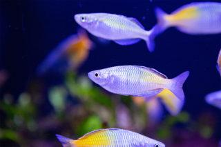 虹色の魚!アクアリウムを幻想的にするレインボーに輝く魚10選をご紹介!