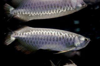 輝く美しさ!銀色の熱帯魚10選!水槽をクールに彩るシルバーカラーの魚達