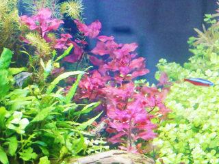 赤い水草6選!水草水槽のアクセントに赤い水草を植えよう【トロピカ厳選】