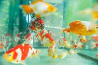 金魚にバクテリア剤は必要?要らないケースとおすすめバクテリア剤も紹介