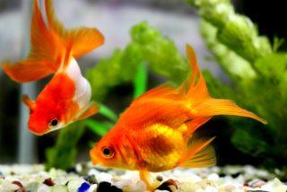 金魚飼育の失敗例10個!初心者がやりがちな例を知って長生きさせよう!