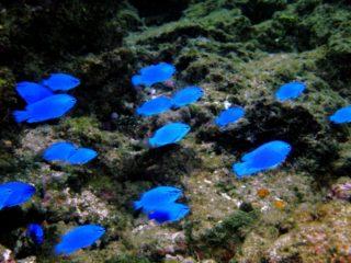 青い熱帯魚特集!水槽のワンポイントにおすすめの種類をご紹介します!