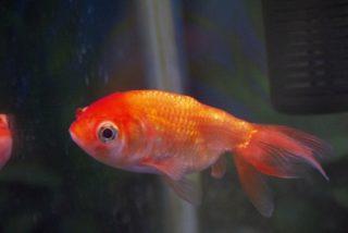 金魚が痩せた!病気?金魚のお腹がガリガリになってしまった時の対処法!