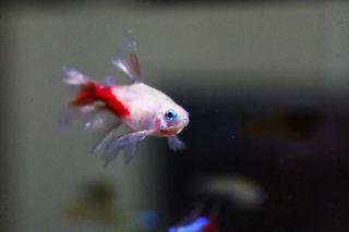ヒレの長い熱帯魚10選!優雅なロングフィン種でアクアリウムを彩ろう!