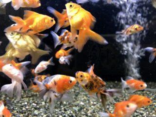 金魚におすすめのろ過装置ベスト6!エアレーション効果も重視して厳選!