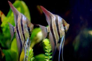 かっこいい熱帯魚13選!水槽で存在感抜群な、中型魚などを厳選しました!