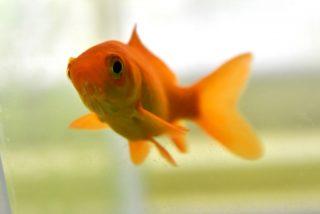 金魚を小型水槽で飼おう!抑えるべき金魚の管理ポイントと必要な設備とは