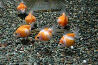 金魚に砂利は必要?砂利を敷くメリット、最適な大きさと砂利をつつく理由