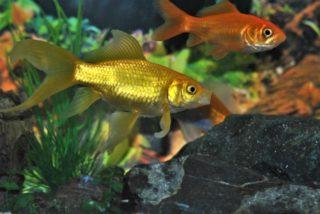 赤色なのになぜ金魚と呼ぶの!? 名前の由来や、金色金魚は存在するのか