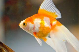 金魚の消化不良が治らない!改善策と絶食の必要性!季節ごとの餌やりとは