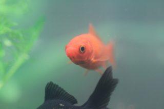 金魚が弱ったとき!死なせないためにできる対処5選!治療から養生まで!