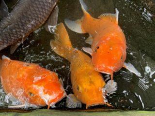 人になつく熱帯魚9選!オスカーなど好奇心旺盛でかわいい魚をまとめました