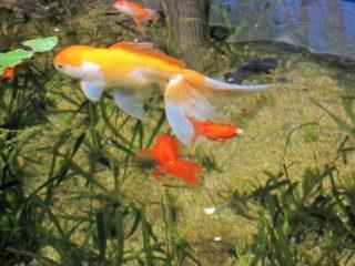 金魚のフンがとまらない!長いフンをする理由と、消化不良の見分け方!
