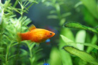 オレンジ色の熱帯魚10選!鮮やかな橙色のおすすめ熱帯魚!秋におすすめ!