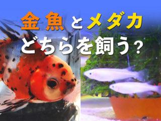金魚とメダカ、飼うならどっち?それぞれの特徴とおすすめポイントとは!