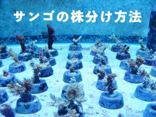 サンゴの株分け方法!増えすぎたサンゴをカットして増やす方法を解説!