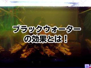 ブラックウォーターとは!作り方と飼育に向いている熱帯魚や水草をご紹介