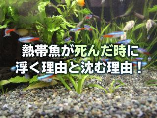 熱帯魚が死んだ時に浮く理由と沈む理由!魚が死ぬとどうなるのかを解説!