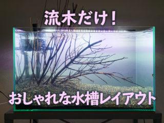 水草はいらない!?流木だけでおしゃれな水槽レイアウトを完成させる方法