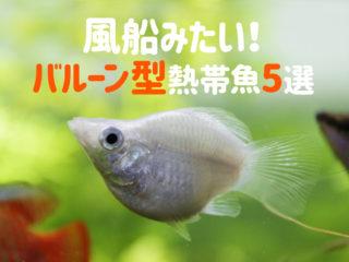 風船みたいなかわいらしい熱帯魚5選!バルーン型の珍しい種類をご紹介!