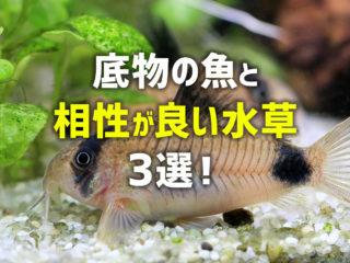 底物の魚と相性が良い水草3選!コリドラス水槽などに最適な水草と条件とは