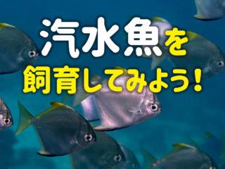 汽水魚を飼育してみよう!飼いやすい汽水魚3選とおすすめの飼育方法!