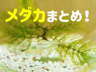 メダカまとめ!飼育容器・餌・温度・卵・水草などメダカ飼育を徹底解説!