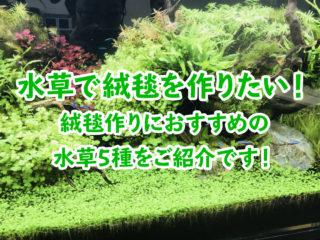 水草で緑の絨毯を作りたい!絨毯作りにおすすめの水草5種をご紹介です!