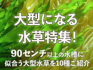 大型になる水草特集!90センチ以上の水槽に似合う大型水草を10種ご紹介