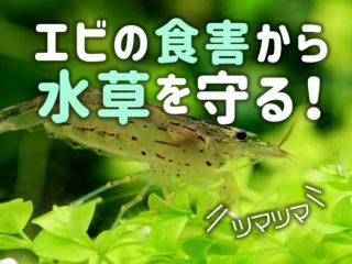 エビの食害から水草を守る!水草水槽でエビを飼うコツと食害対策3選!